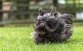 affenpinscher uk breeders the art of dog photography rare and unusual dogs