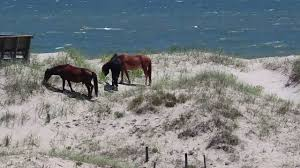 corolla wild horses visible from currituck beach house youtube