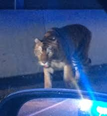 tiger on the loose in georgia killed by police people com
