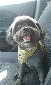 haircutsfordogs poodlemix silver poodle terrier mix haircuts google search hair