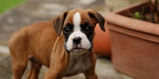 boxer dog origin boxer information characteristics facts names