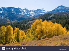 aspen populus tremuloides trees fall colors sonora pass