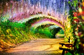 japan flower tunnel wisteria tunnel on japan news