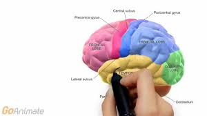 Advanced Anatomy And Physiology Anatomy And Physiology Central Nervous System Brain Anatomy V2 0