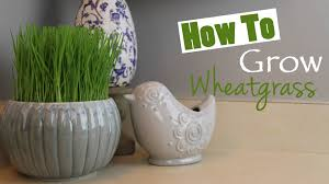 how to grow wheatgrass at home diy youtube
