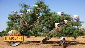 12 goats in a tree real or