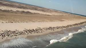 Cape Cod Weather October - seals take over cape cod beach cbs boston