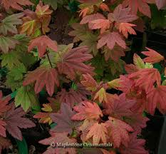 49 best trees images on acer palmatum japanese maple