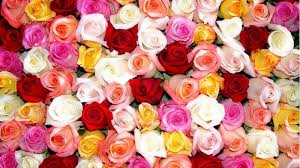 roses wholesale roses wholesale carnations