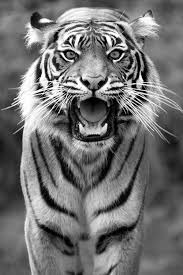 black and white tiger lions and tigers tigers