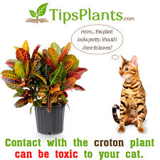croton and cats or the toxicity of croton