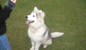 belgian shepherd x alaskan malamute khi u2013 9 month old male siberian husky cross alaskan malamute dog