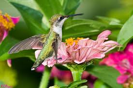 hummingbird flowers attracting hummingbirds to the garden creating a perennial