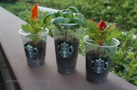 diy upcycled frappuccino cup mini planters honey lime