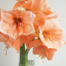 amaryllis flowers fresh cut amaryllis care and handling flower muse