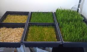 wheatgrass growing instructions model on home remodeling also