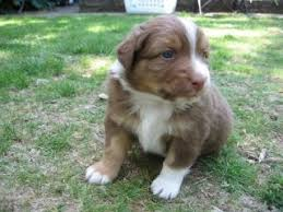 australian shepherd upkeep 10 best australian shepherds images on pinterest australian