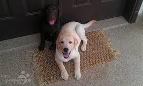 afghan hound and labrador retriever buddy and ella labrador retriever puppy riyadh 101