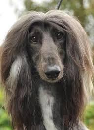 afghan hound breeders new york sweet angerl afghan hound ani animali pinterest afghan hound
