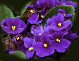 Birth Flowers By Month - violet purple february birthflower jpg