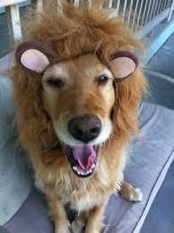 Dog Halloween Costume Lion Mane Lion Mane Dog Costume Boudreaux Gunnar Puppies