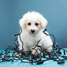 puppies electrical shock first aid