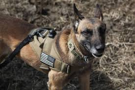 belgian malinois in movies dogs of war 23 facts you never knew about military working dogs