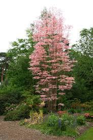 cedrela sinensis flamingo leafland