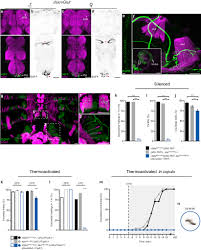 neural circuitry coordinating male copulation elife lens