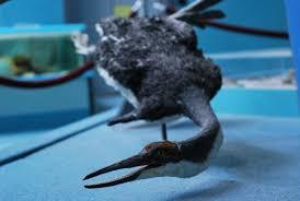using penguins to study prehistory u2013 phenomena