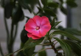 phlox flower free photo phlox flower flourishing potted free image on