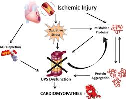 role of the ubiquitin proteasome system in the heart circulation