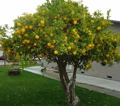 Best Fruit Tree For Backyard 45 Best Trees Images On Pinterest Ficus Acacia And Tropical