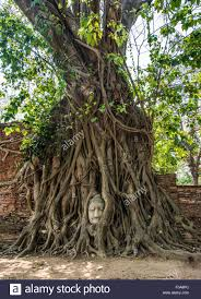 buddha statue in bodhi tree ficus religiosa roots wat