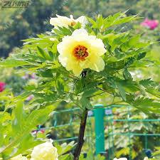 yellow peonies zlking 10pcs yellow peony european peonies bonsai diy