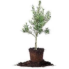 olive tree in pot 30 inch garden outdoor
