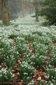 plants native to england woodland with snowdrops glaucestershire england nature u0027s art