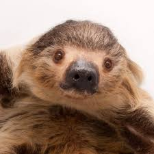 4 toed sloth hoffman s two toed sloth national geographic