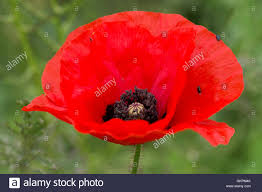 flower of a red corn poppy papaver rhoeas delicate with dark