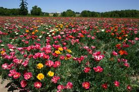 Poppy Flower Garden by Poppy California Mission Bell Mix Oregon Wholesale Seed Company