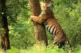 kanha tiger reserve wikipedia