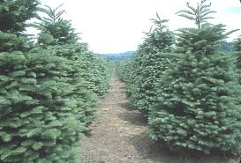 tips for fresh cut christmas tree selection and care hoosier