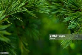 fir tree stock photos and pictures getty images
