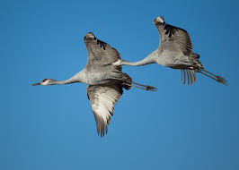 sandhill cranes grus canadensis bosque del apache national wildlife refuge new mexico usa flying 8a 1 jpg