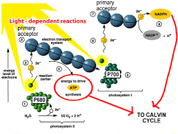 The Light Reactions Of Photosynthesis Use And Produce Honchemistry Photosynthesis The Calvin Cycle