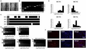 frontiers involvement of hcn channel in muscarinic inhibitory