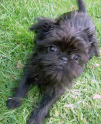 affenpinscher puppies florida affenpinscher pictures posters news and videos on your pursuit