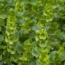 Bells Of Ireland Flower Bells Of Ireland Moluccella Laevis Seeds Select Seeds