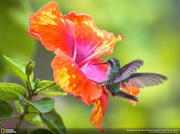 hibiscus flower wallpapers 47 free hibiscus flower wallpapers