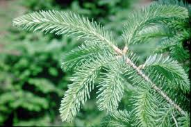 trees balsam fir